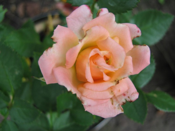 a-newly-bloomed-parade-rose-117101298116270nyT